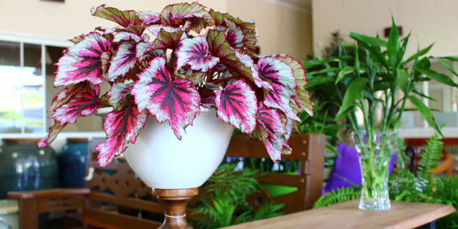Begonia rex pot plant for inside the home
