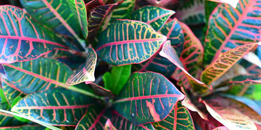 A croton plant, perfect for indoors